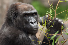 Lowland Gorilla. S Gorilla gorilla are now designated as `Critically Endangered` by the IUCN. Poaching and habitat destruction are two major threats to their royalty free stock photos