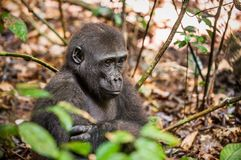Lowland gorilla in jungle Congo. Portrait of a western lowland gorilla (Gorilla gorilla gorilla) close up at a short distance. You Royalty Free Stock Image