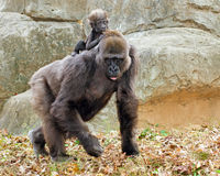Lowland gorilla mother and infant Royalty Free Stock Photo