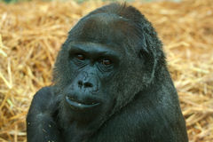 Lowland gorilla portrait Royalty Free Stock Photography