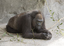 Lowland Gorilla at Rest Stock Images