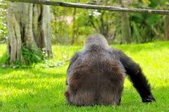 Lowland gorilla resting Stock Image