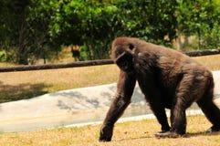 Lowland gorilla taking walk Royalty Free Stock Photography