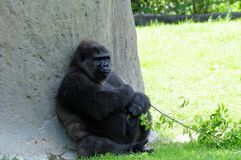 Lowland gorilla with twig Royalty Free Stock Image