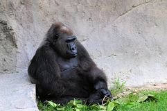 Lowland gorilla and twigs Royalty Free Stock Photos