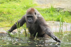Lowland gorilla in water. The adult western lowland gorilla stepping into water stock photography