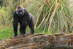 Lowland gorilla Royalty Free Stock Image