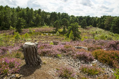 Lowland heath with pond in summer. Lowland heath with purple heathers and a line of pine trees and tree stump in foreground, and pond in distance on a sunny day Stock Photography