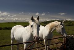 Lowland landscape with horses Stock Images