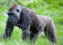Lowland Mountain Gorilla Royalty Free Stock Images