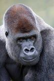 Lowland Silverback Gorilla. Portrait of Lowland Silverback Gorilla Stock Photos