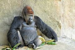 Lowland silverback gorilla Royalty Free Stock Images