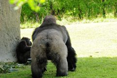 Silverback gorilla walking to female Stock Photography