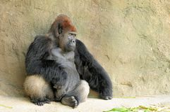 Silverback gorilla (horizontal) Royalty Free Stock Photography