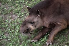 Lowland tapir Stock Photos