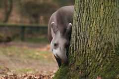 Lowland tapir. The lowland tapir behind the tree royalty free stock photos