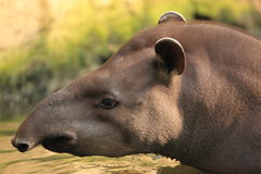 Lowland tapir. The detail of lowland tapir in water royalty free stock photos