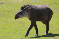 Lowland tapir. The strolling lowland tapir in the grass stock image