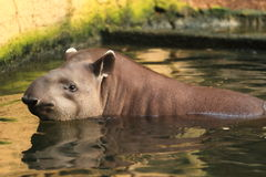Lowland tapir Royalty Free Stock Photography