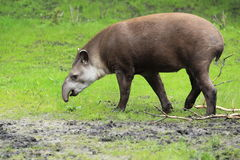 Lowland tapir. The adult lowland tapir in the muddy grass stock image