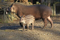 Lowland tapir baby and its parent Royalty Free Stock Image