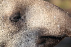 Lowland tapir detail Royalty Free Stock Photo