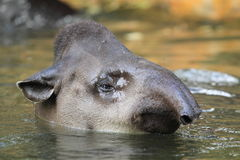 Lowland tapir Royalty Free Stock Image