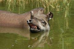 Lowland tapir (Tapirus terrestris). A swimming Lowland or Brazilian tapir in Szeged Zoo, Hungary stock photography