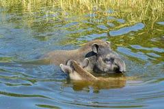 Free Lowland Tapir (Tapirus Terrestris) Royalty Free Stock Photos - 42150698