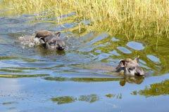 Free Lowland Tapir (Tapirus Terrestris) Royalty Free Stock Photography - 42150707