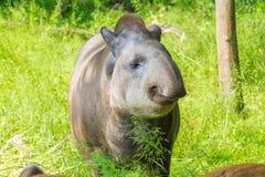 Lowland tapir (Tapirus terrestris) Stock Photo
