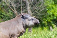 Lowland tapir (Tapirus terrestris) Royalty Free Stock Photos