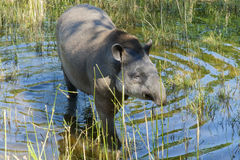 Lowland tapir (Tapirus terrestris) Royalty Free Stock Photo
