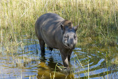Lowland tapir (Tapirus terrestris) Royalty Free Stock Images