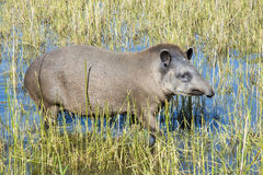 Lowland tapir (Tapirus terrestris) Stock Photos