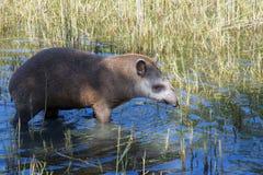 Lowland tapir (Tapirus terrestris) Stock Photography