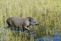 Lowland tapir (Tapirus terrestris) Stock Photo