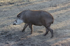 Lowland Tapir - Tapirus terrestris Royalty Free Stock Images
