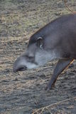 Lowland Tapir - Tapirus terrestris Stock Image