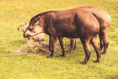 Lowland tapirs Royalty Free Stock Image