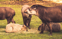 Lowland tapirs Stock Photography