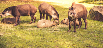 Lowland tapirs Stock Photos