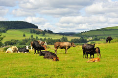 Lowlands Cattle, Moffat, Scotland Stock Photos