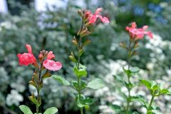 Lowry's Peach Sage, Salvia greggii. With Outstanding ornamentals from Mexico and Texas with small, fruit-scented leaves and wonderful bright coloured royalty free stock image
