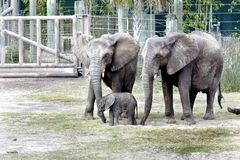 Lowry Park Zoo Baby Elephant Stock Photo