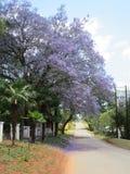 Lowveld-Jacaranda stockfotografie