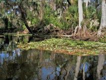 Loxahatchee River Cypress Tree royalty free stock photography