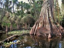 Loxahatchee River Cypress Tree stock photography