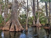 Loxahatchee River Cypress Tree stock photo