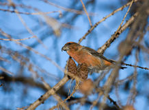 Loxia curvirostra, Crossbill Royalty Free Stock Photography